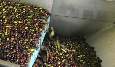 IMMAGINE lavaggio olive