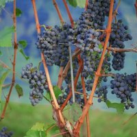 Il Sangiovese: cuore rosso dei vini d'Italia